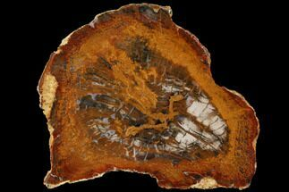 Sycamore - Fossils For Sale - #114441