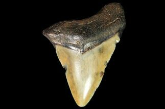 "Bargain, 2.31"" Juvenile Megalodon Tooth - Georgia For Sale, #115628"
