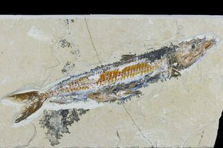 "6.4"" Cretaceous Viper Fish (Prionolepis) - Hjoula For Sale, #115742"
