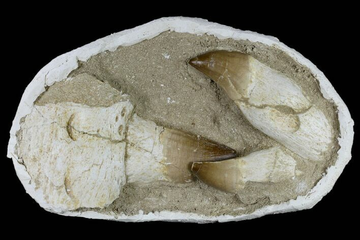 Three, Large Rooted Mosasaur Teeth In Rock - Morocco