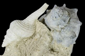 "3.9"" Tall, Miocene Fossil Gastropod Cluster - France For Sale, #113708"