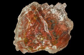 "5.5"" Polished Petrified Wood (Araucaria) Slab - Arizona For Sale, #114524"