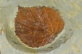 "1.8"" Fossil Leaf (Davidia) - Montana For Sale, #115205"