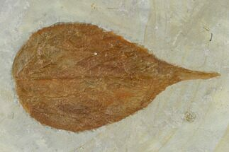 "3.8"" Unidentified Fossil Leaf - Glendive Montana For Sale, #115310"