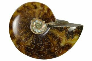 "Buy 1 3/4 - 2 1/4"" Polished Ammonite Fossils - Madagascar - #117073"