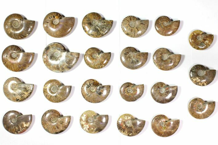 "Wholesale Lot: 2.8 to 4.2"" Polished Ammonite Fossils - 23 Pieces"