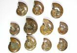 "Wholesale Lot: 3.1 - 4.4"" Polished Whole Ammonite Fossils - 23 Pieces - #116722-1"