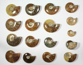 "Buy Wholesale Lot: 2.5 - 5"" Polished Whole Ammonite Fossils - 19 Pieces - #116608"