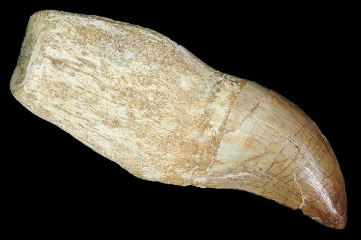 "2.7"" Fossil Rooted Mosasaur (Prognathodon) Tooth - Morocco"