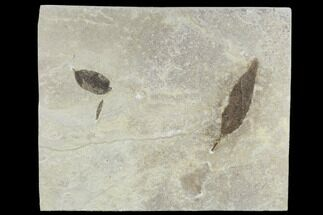 Three Fossil Leaves - Green River Formation, Utah For Sale, #118007
