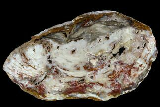 "10.5"" Colorful, Polished Petrified Wood Slab - Cherry Creek, NV For Sale, #118049"