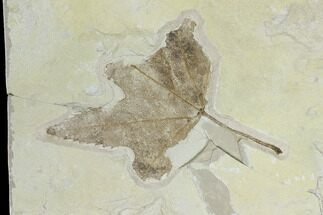 Acer lesquereuxi - Fossils For Sale - #118029