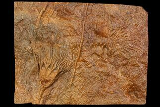 "11.7"" Silurian Fossil Crinoid (Scyphocrinites) Plate - Morocco For Sale, #118544"