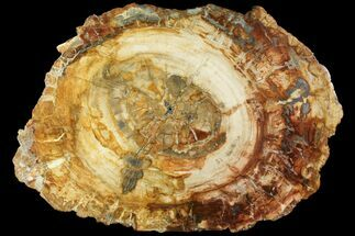 "Buy 19.9"" Petrified Wood (Araucaria) Slab - Madagascar  - #118555"