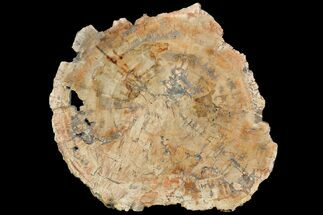 Araucaria sp. - Fossils For Sale - #118464