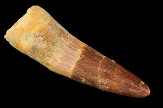 "2.0"" Spinosaurus Tooth - Real Dinosaur Tooth For Sale, #118391"