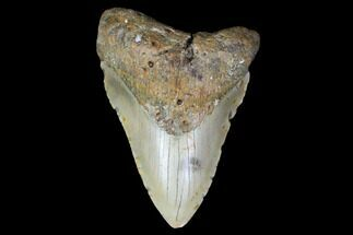 "Buy 4.63"" Fossil Megalodon Tooth - North Carolina - #119434"