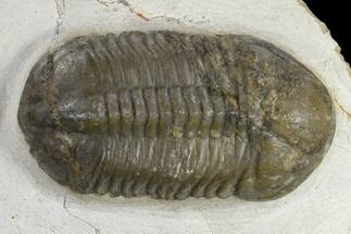 Struveaspis bignoni - Fossils For Sale - #119628