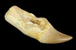 "Buy 2.1"" Fossil Rooted Mosasaur (Halisaurus) Tooth - Morocco - #117022"