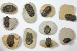 Wholesale Lot: Assorted Devonian Trilobites - 10 Pieces For Sale, #119915