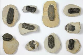 Wholesale Lot: Assorted Devonian Trilobites - 10 Pieces For Sale, #119933