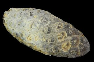 "1.6"" Agatized Seed Cone (Or Aggregate Fruit) - Morocco For Sale, #119765"