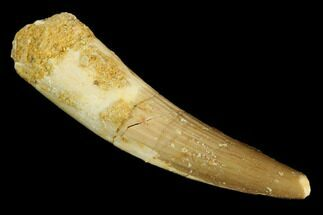 "1.7"" Spinosaurus Tooth - Real Dinosaur Tooth For Sale, #117734"
