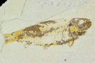 "Bargain, 3.8"" Fossil Fish (Knightia) - Wyoming For Sale, #120629"