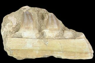 Prognathodon sp.  - Fossils For Sale - #116982