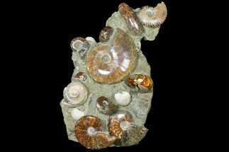 "Buy 10.5"" Tall, Composite Ammonite Fossil Sculpture - #120703"