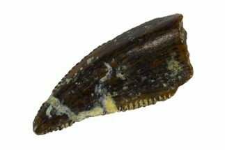 Unidentified Raptor - Fossils For Sale - #115968