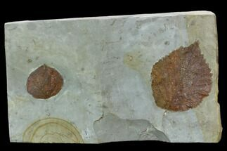 Two Fossil Leaves ( Zizyphoides And Davidia) - Montana For Sale, #120875