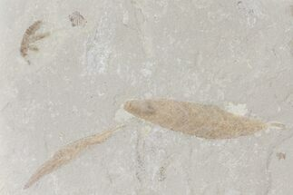 Fossil Leaves And Cricket - Green River Formation, Utah For Sale, #109106