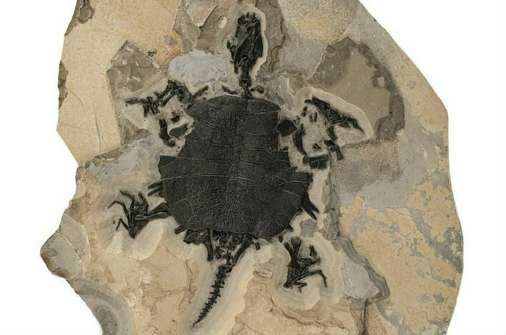 "Incredible, 30"" Fossil Turtle (Apalone) - Green River Formation"