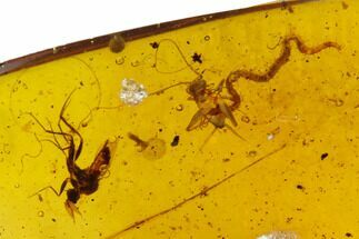 Buy Fossil Centipede, Cricket And Wasp In Amber - Myanmar - #122062