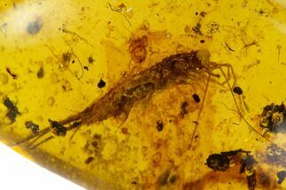Buy 8.7mm Fossil Bristletail (Meinertellidae) In Amber - Myanmar - #122200