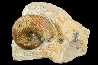 "Buy 1.8"" Ammonite Fossil - Boulemane, Morocco - #122428"
