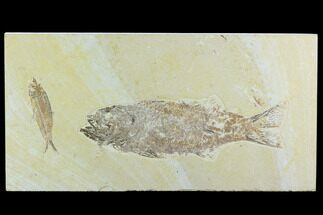 Mioplosus labracoides, Knightia eocaena - Fossils For Sale - #122664