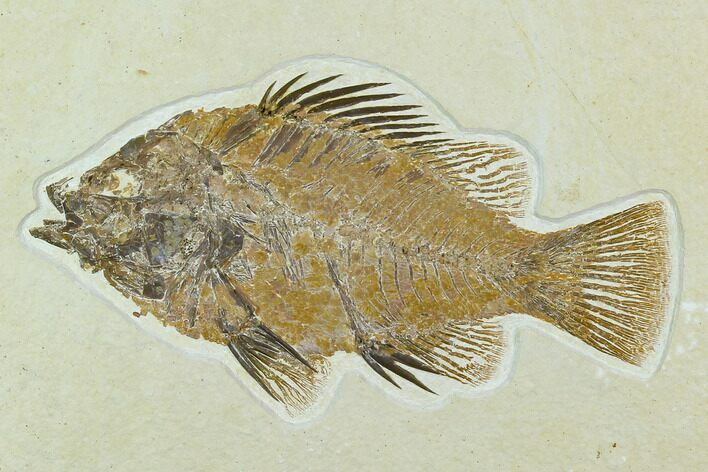 "5.2"" Fossil Fish (Priscacara) - Green River Formation"