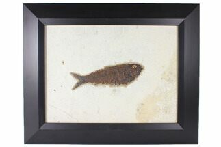 "6.4"" Framed Fossil Fish (Knightia) - Wyoming For Sale, #122642"