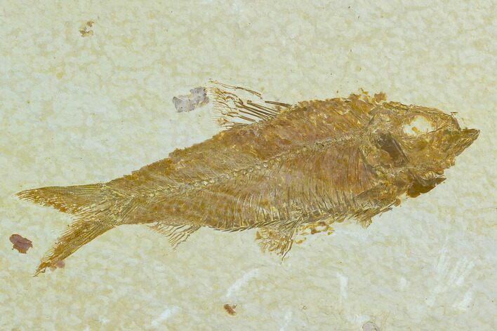 "3.7"" Fossil Fish (Knightia) - Green River Formation"