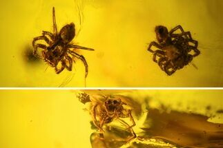 Buy Two Fossil Spiders (Araneae) In Baltic Amber - #123364