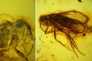 Buy 7mm Caddisfly (Trichoptera) In Baltic Amber - Green Eye! - #123379