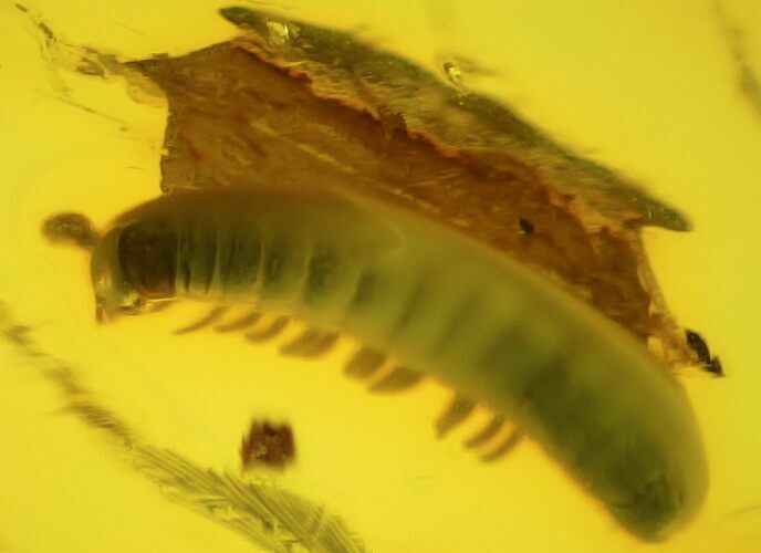 2.5mm Fossil Millipede (Polyxenidae) In Baltic Amber