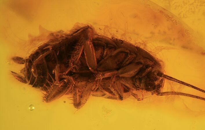 12mm Fossil Cockroach (Blattoidea) In Baltic Amber - Rare!