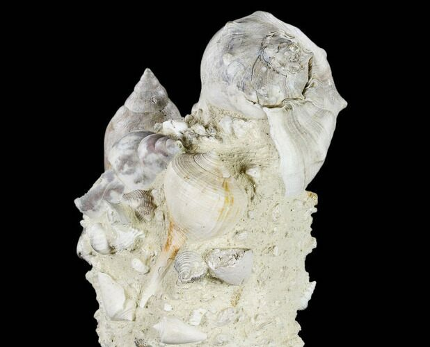 "7.8"" Tall, Miocene Fossil Gastropod Cluster - France"