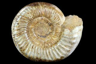 Perisphinctes sp. - Fossils For Sale - #123297