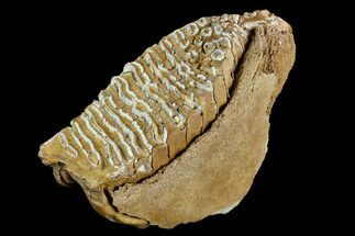 "9.8"" Fossil Woolly Mammoth Lower M3 Molar - Siberia For Sale, #123650"