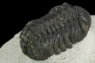 Morocops (Barrandeops) sp. - Fossils For Sale - #120093
