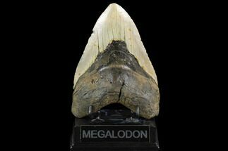 Carcharocles megalodon - Fossils For Sale - #124416